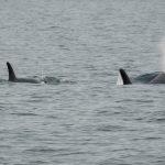 J50 Orca aggiornamento: gli scienziati cercheranno di ottenere la sua seconda dose di meds